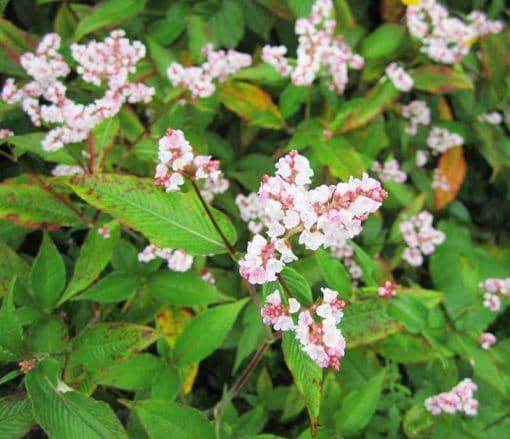 Persicaria campanulata 'Madame Jigard', en fleurs