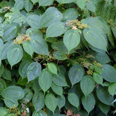 Pilea insolens, piléa extravagant, feuillage et floraison