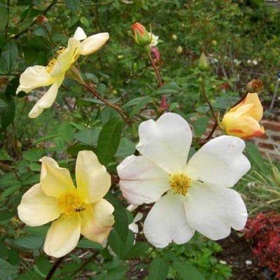 Fleurs de Rosa chinensis Yellow Mutabilis