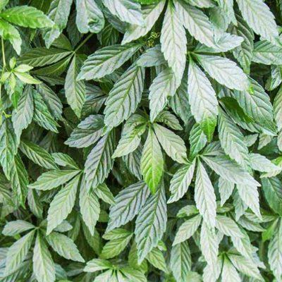 Gynostemma pentaphyllum, le jiaogulan, ou thé de la longévité
