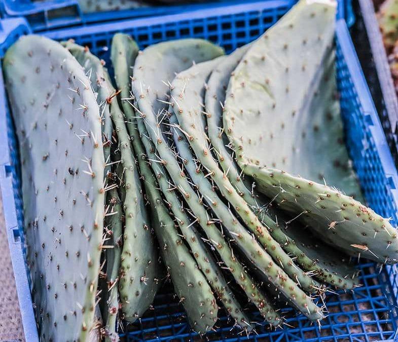 boutures de cactus, Opuntia, au séchage. Cette étape est indispensable pour bouturer un cactus.