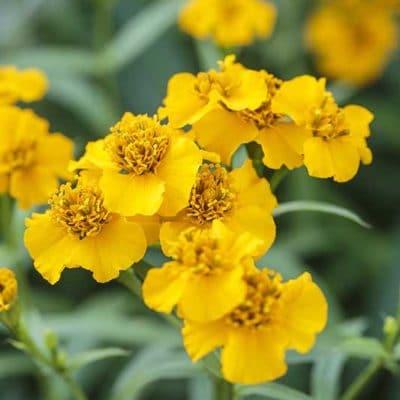 Estragon du Mexique, Tagetes lucida, en fleur
