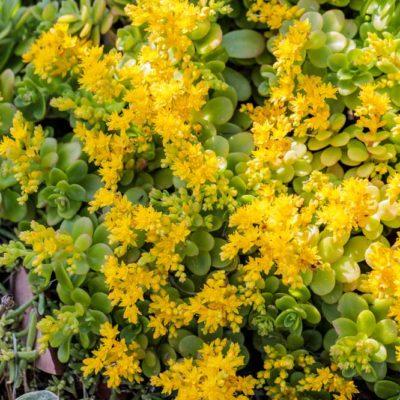 Sedum kimnachii en fleurs
