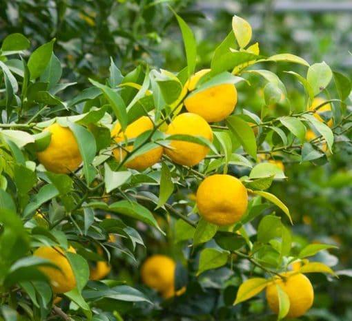 Citrus junos, le yuzu, en fruits
