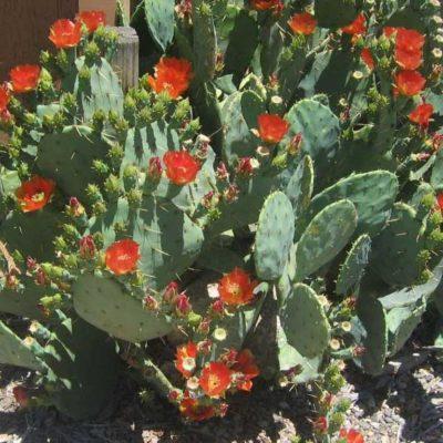 Opuntia lindheimeri en fleur