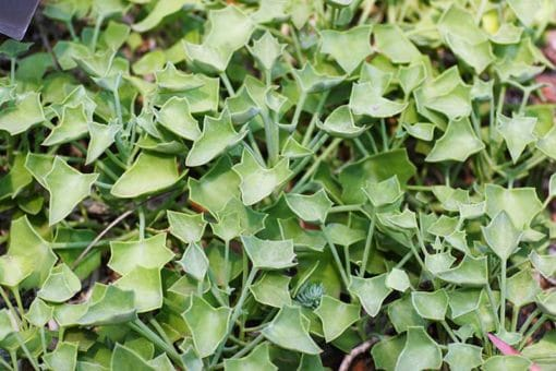 Senecio tropaeolifolius , séneçon à feuilles de capucine