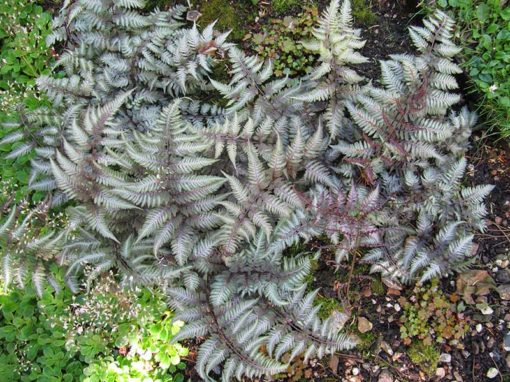 Feuillage d'Athyrium niponicum Burgundy Lace, la fougère pourpre