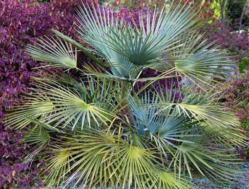 Chamaerops humilis Cerifera, palmier doum bleu