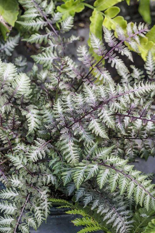 Athyrium niponicum Burgundy Lace, la fougère pourpre