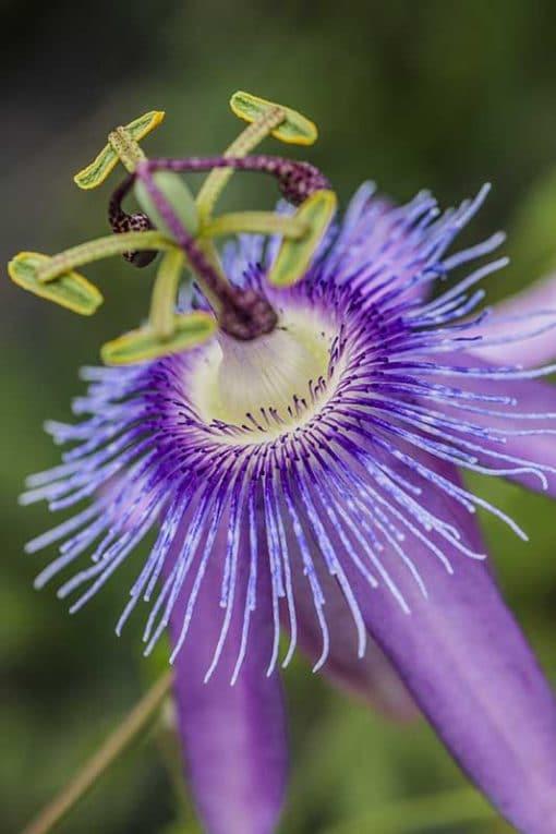 Fleur de passiflore pourpre, Passiflora Lavender Lady