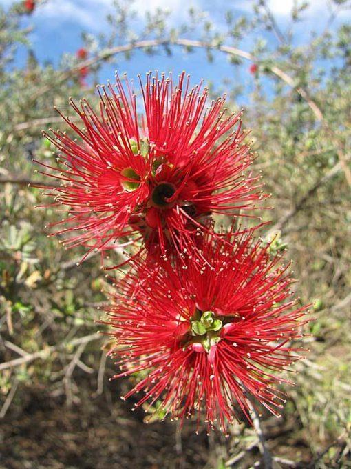 Floraison de Kunzea baxteri