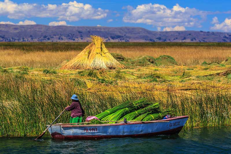 Récolte de jonc géant, totora, sur le lac Titicaca.