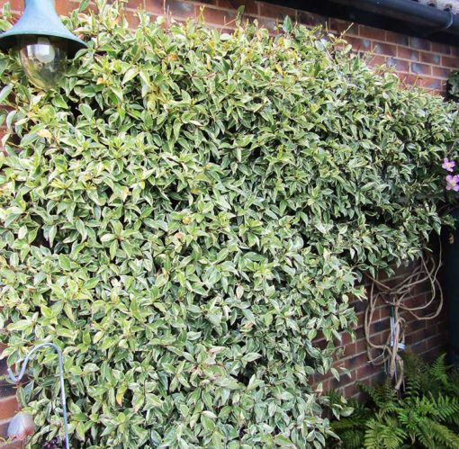 Jasmin persistant panaché, Trachelospermum jasminoides Variegatum