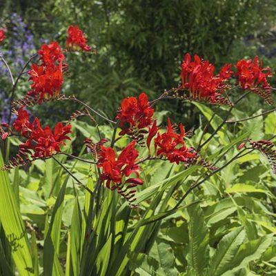Crocosmia Lucifer en fleurs