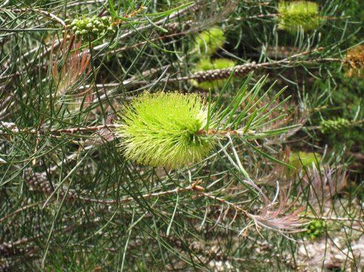 Callistemon pinifolius, rince-bouteille à feuilles de pin