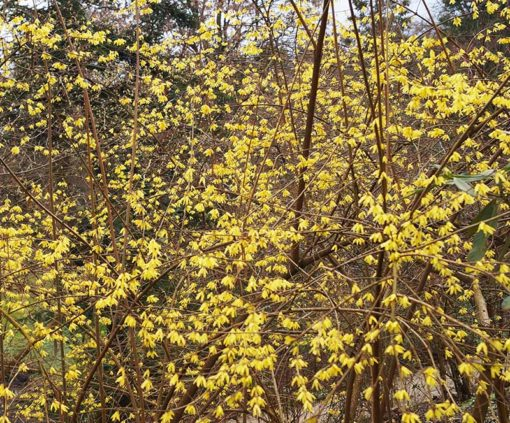 Forsythia précoce, Forsythia giraldiana, en fleurs