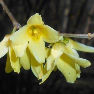 Forsythia précoce, Forsythia giraldiana, en gros plan