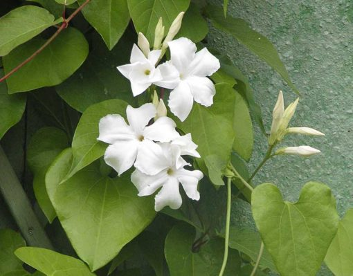 Floraison de Mandevilla laxa, jasmin du Chili