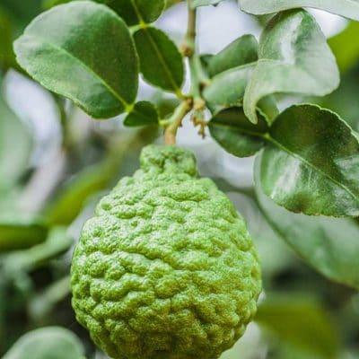 Fruit de combava, Citrus hystrix