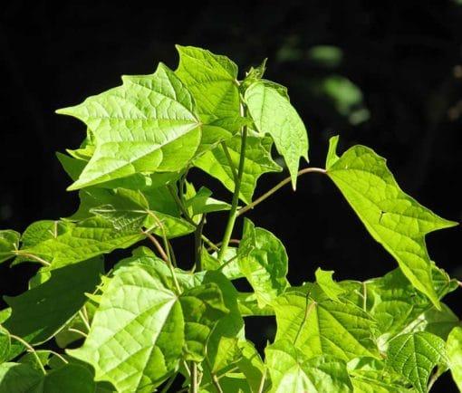 Alangier à feuilles de platane, Alangium platanifolium