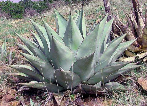 Agave havardiana, agave rustique en situation