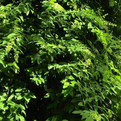 Berchemia polyphylla berchémie grimpante