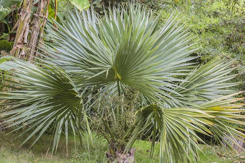 Palmetto, palmier Sabal, à la Palmeraie du Sarthou (32)