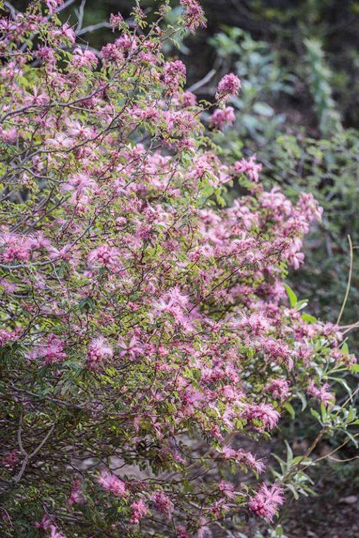 Calliandra eriophylla, plumeau de fée, en fleurs