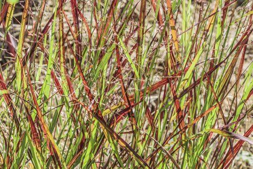 Panicum 'Sangria', panic rouge