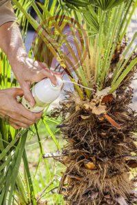 Application de Biopalm® sur un palmier doum, Chamaerops, en prévention contre le papillon palmivore