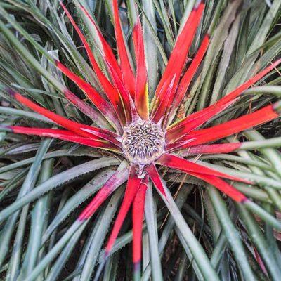 Fascicularia bicolor, ananas rouge, en fleurs