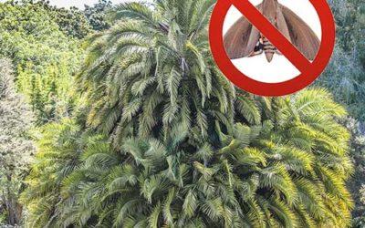 Palmiers résistants au papillon du palmier