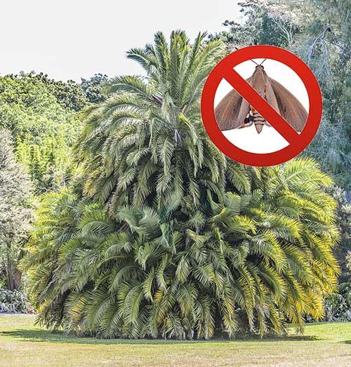 Phoenix reclinata, dattierdu Sénégal, et paysandisia, le papillon du palmier