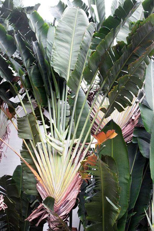Strelitzia nicolai , le faux arbre du voyageur