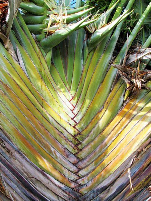 tronc de Strelitzia nicolai , le faux arbre du voyageur