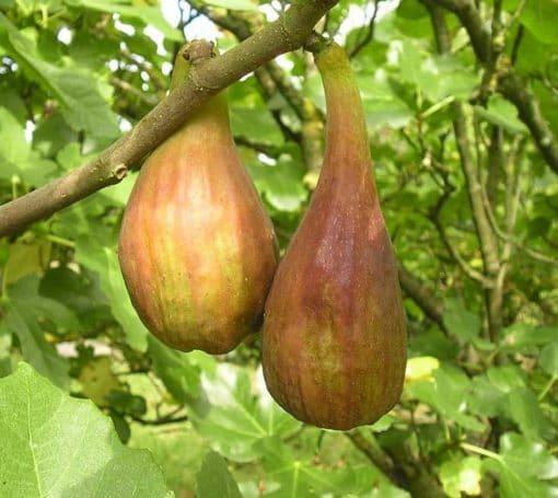 Fruits du figuier Longue d'Août, variété bifère