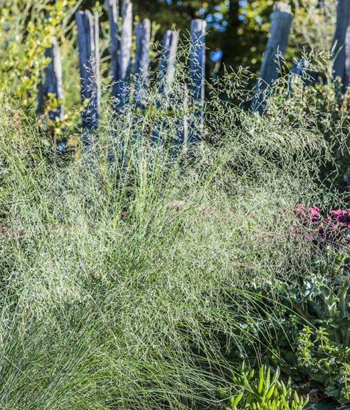 Eragrostis chloromelas Wind Dancer