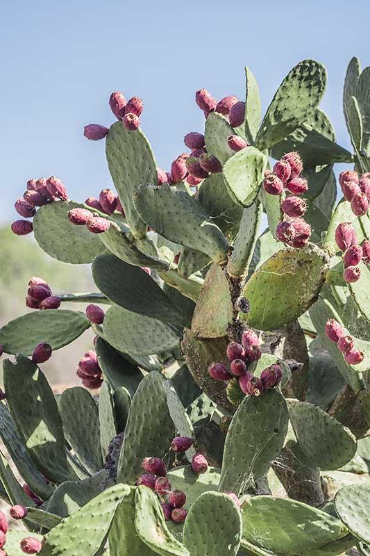 Figuier de Barbarie, Opuntia ficus indica, variété à petits fruits rouges