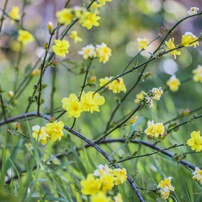Jasminum mesnyi, jasmin primevere, jasminum primulinum