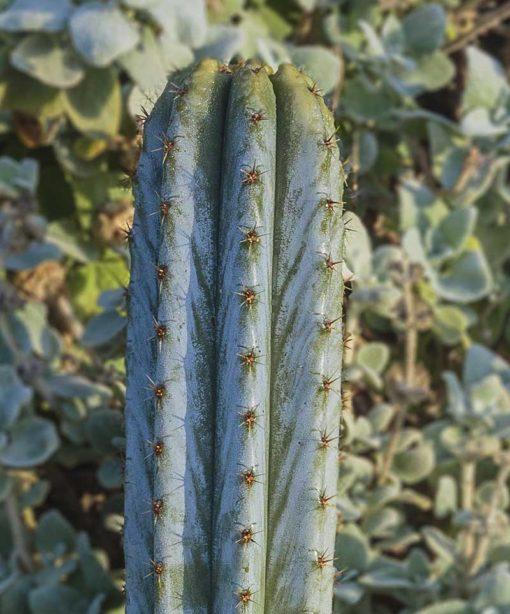 Trichocereus macrogonus, Echinopsis pachanoi