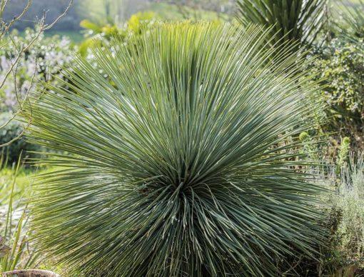 Yucca à feuilles linéaires (Yucca linearifolia)