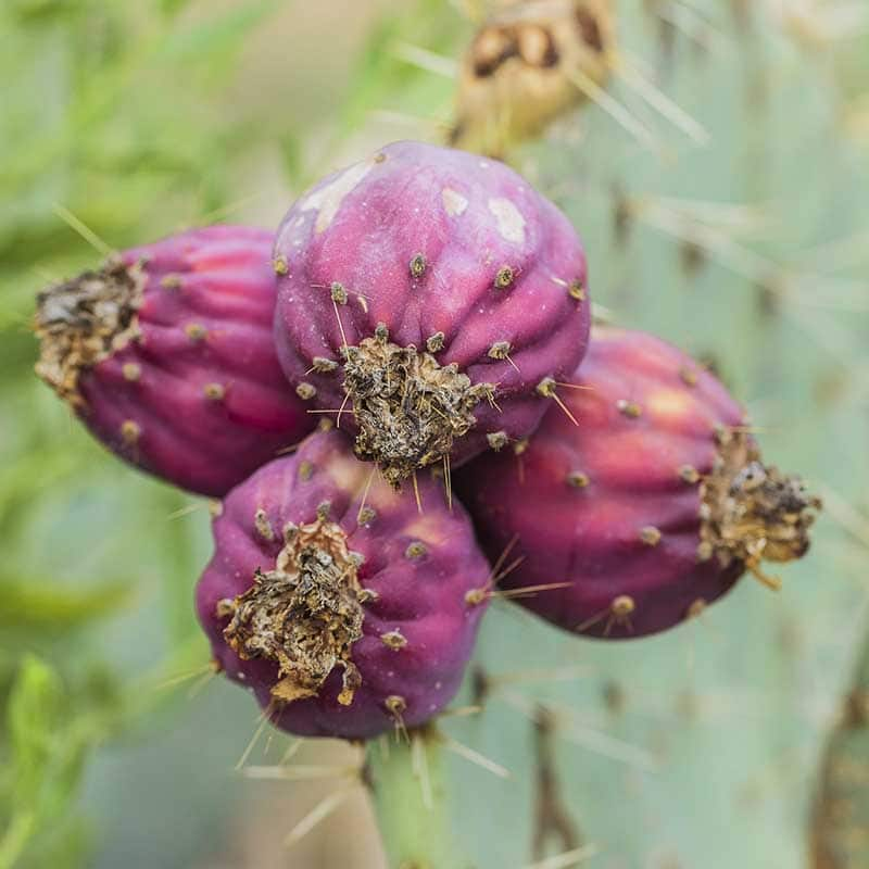 Fruits d'Opuntia robusta, un cactus à gros fruits