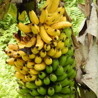 Régime de banane de la variété Grand Nain, Musa acuminata Grand Nain