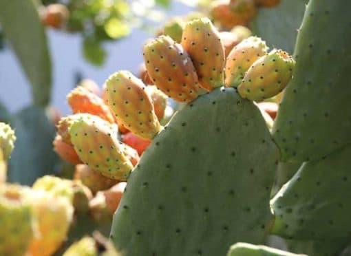 Opuntia ficus indica, figue de Barbarie, variété Marocaine