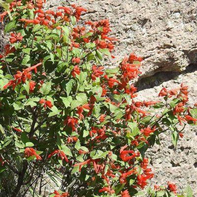 Salvia regla, sauge arbustive, sauge des montagnes, en fleurs