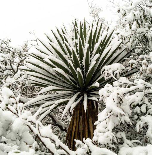 Yucca filifera, alias Yucca australis, sous la neige