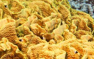 corail Turbinaria mesenterina