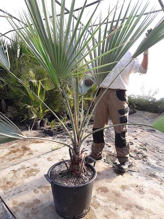 Brahea armata,palmier bleu du Mexique, de notre production