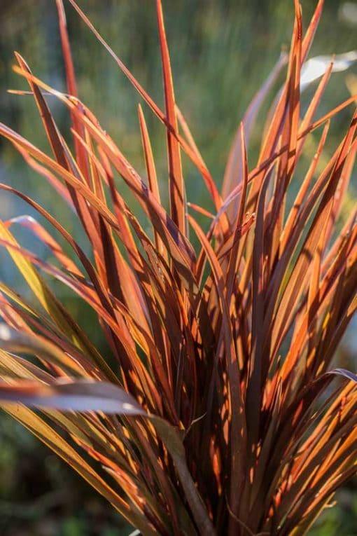 Phormium Amazing Red, à contre-jour