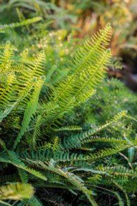 Nephrolepis cordifolia, fougère de Boston rustique